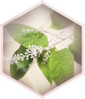 A green, leafy plant with small, light-colored blossoms represents encapsulated resveratrol, one of the three key ingredients in Mary Kay's new TimeWise Miracle Set 3D skin care regimen.